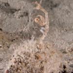 caprella 06 150x150 Caprella acanthifera   Caprella