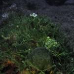 caulerpa racemosa 43 150x150 Caulerpa racemosa