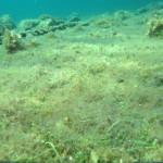 caulerpa racemosa 53 150x150 Caulerpa racemosa