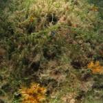 caulerpa racemosa 60 150x150 Caulerpa racemosa
