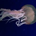 medusa luminosa 02 e1346343313955 150x150 Medusa luminosa