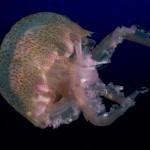 medusa luminosa 03 150x150 Pelagia noctiluca, Medusa luminosa
