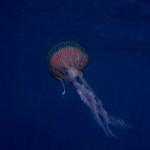 medusa luminosa 13 150x150 Medusa luminosa