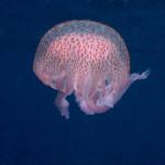medusa luminosa 14 150x150 Medusa luminosa