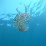 medusa luminosa 16 150x150 Pelagia noctiluca, Medusa luminosa