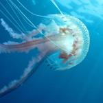 medusa luminosa 18 150x150 Medusa luminosa