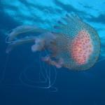 medusa luminosa 31 150x150 Medusa luminosa