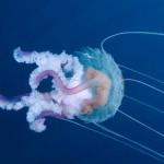 medusa luminosa 34 150x150 Medusa luminosa