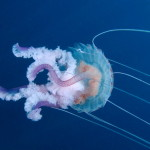 medusa luminosa 34 150x150 Pelagia noctiluca, Medusa luminosa