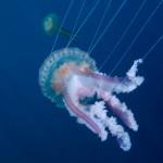 medusa luminosa 35 150x150 Medusa luminosa