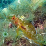 pilce di mare 03 150x150 Nerocilia bivittata   Pulce di mare nerocilia