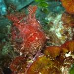 pilce di mare 05 150x150 Nerocilia bivittata   Pulce di mare nerocilia