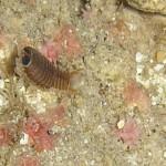 pilce di mare 14 150x150 Nerocilia bivittata   Pulce di mare nerocilia