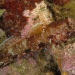 pulce di mare 23 150x150 Nerocilia bivittata   Pulce di mare nerocilia