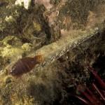 pulce di mare 25 150x150 Nerocilia bivittata   Pulce di mare nerocilia