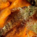 pulce di mare 261 150x150 Nerocilia bivittata   Pulce di mare nerocilia