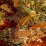 pulce di mare 31 150x150 Nerocilia bivittata   Pulce di mare nerocilia