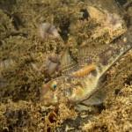 pulce di mare 60 150x150 Nerocilia bivittata   Pulce di mare nerocilia