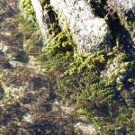 racemosa 16 150x150 Caulerpa racemosa