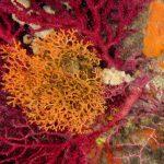 adeonella 42 150x150 Adeonella   Adeonella calveti