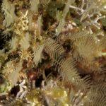 aglaofenia 61 150x150 Aglaofenia   Aglaophenia sp.