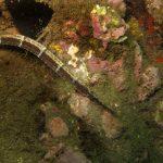 ago musolungo 05 150x150 Pesce ago musolungo