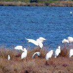 airone bianco maggiore 06 150x150 Airone bianco maggiore   Cosmerodius albus