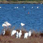 airone bianco maggiore 07 150x150 Airone bianco maggiore   Cosmerodius albus