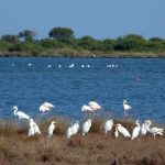 airone bianco maggiore 08 150x150 Airone bianco maggiore   Cosmerodius albus