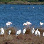 airone bianco maggiore 09 150x150 Airone bianco maggiore   Cosmerodius albus
