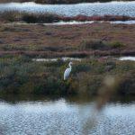 airone bianco maggiore 10 150x150 Airone bianco maggiore   Cosmerodius albus