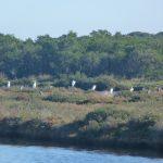 airone bianco maggiore 11 150x150 Airone bianco maggiore   Cosmerodius albus