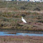airone bianco maggiore 15 150x150 Airone bianco maggiore   Cosmerodius albus