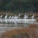 airone bianco maggiore 22 150x150 Airone bianco maggiore   Cosmerodius albus