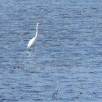 airone bianco maggiore 33 150x150 Airone bianco maggiore   Cosmerodius albus