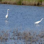 airone bianco maggiore 34 150x150 Airone bianco maggiore   Cosmerodius albus