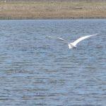 airone bianco maggiore 35 150x150 Airone bianco maggiore   Cosmerodius albus