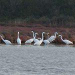 airone bianco maggiore 39 150x150 Airone bianco maggiore   Cosmerodius albus