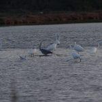 airone bianco maggiore 40 150x150 Airone bianco maggiore   Cosmerodius albus
