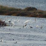 airone bianco maggiore 41 150x150 Airone bianco maggiore   Cosmerodius albus