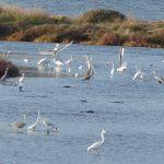 airone bianco maggiore 43 150x150 Airone bianco maggiore   Cosmerodius albus