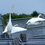 airone bianco maggiore 59 150x150 Airone bianco maggiore   Cosmerodius albus