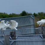airone bianco maggiore 60 150x150 Airone bianco maggiore   Cosmerodius albus