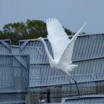 airone bianco maggiore 61 150x150 Airone bianco maggiore   Cosmerodius albus