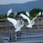 airone bianco maggiore 62 150x150 Airone bianco maggiore   Cosmerodius albus
