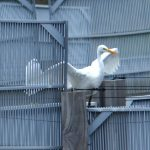 airone bianco maggiore 64 150x150 Airone bianco maggiore   Cosmerodius albus