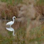 airone bianco maggiore 65 150x150 Airone bianco maggiore   Cosmerodius albus