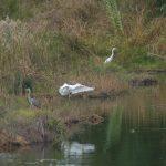 airone bianco maggiore 67 150x150 Airone bianco maggiore   Cosmerodius albus