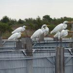 airone bianco maggiore 70 150x150 Airone bianco maggiore   Cosmerodius albus