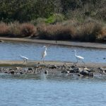 airone bianco maggiore 75 150x150 Airone bianco maggiore   Cosmerodius albus